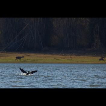 Cormorant landing @ Kabini River - Free image #286139
