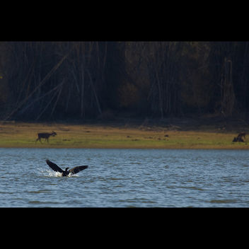 Cormorant landing @ Kabini River - Kostenloses image #286139