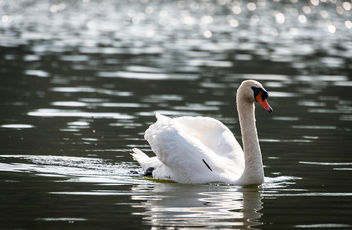 Canadian swan. [Explored March 29, 2012] - Free image #286149