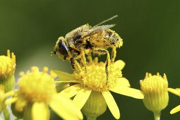 Macro Bee Pollen - image gratuit #286369