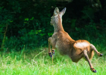 Roe Deer, Cotswolds, Gloucestershire - Free image #286739