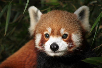 red panda, Darjeeling, India - бесплатный image #287059