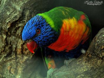 Rainbow Lorikeet - image #287269 gratis