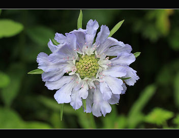 Blue summer flower, Scabiosa - Free image #287529