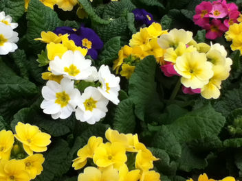 Yellow and white primroses - Free image #288099