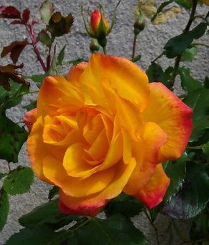 Somptueuses teintes de la rose Sahara mature : jaune d'or, orange feu, rouge ... - image #288379 gratis