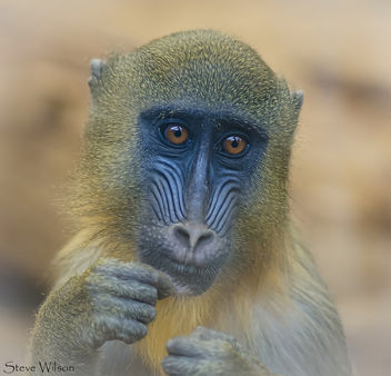 Mandrill face - Free image #288489
