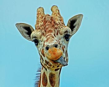 Hungry Giraffe - бесплатный image #288589
