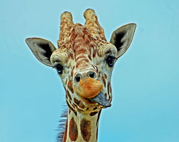 Hungry Giraffe - Free image #288589