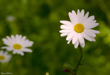 A simple Daisy - Free image #288619