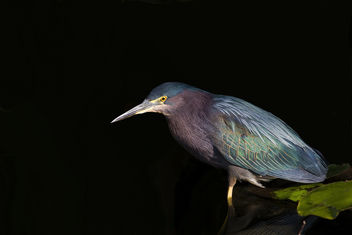 Green Heron (Butorides virescens) - бесплатный image #289329
