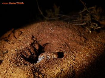 Barking gecko (Ptenopus garrulus) - image #289659 gratis