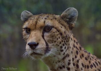 Northern Cheetah mum KT - image #290099 gratis