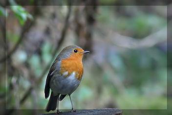A robin,