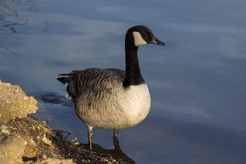 Goose - image #291169 gratis