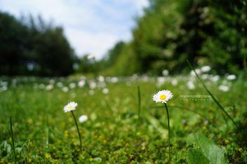 Daisy - image gratuit #291549