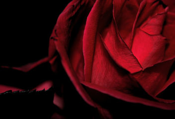 Amour de Minuit Dark Romantic Red Rose Detail - Free image #291729