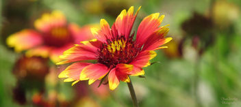 Indian Blanket flower - image #291769 gratis