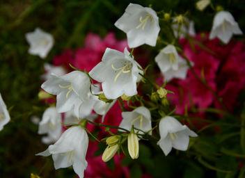 Campanules blanches sur fond de rhodos rouges :) - image #292019 gratis