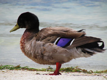 Pretty Duck - Free image #292099