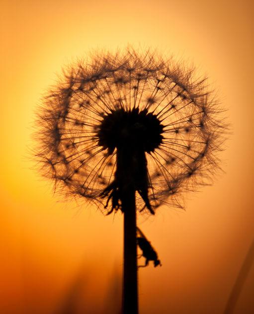 Dandelion sunset - Free image #292179