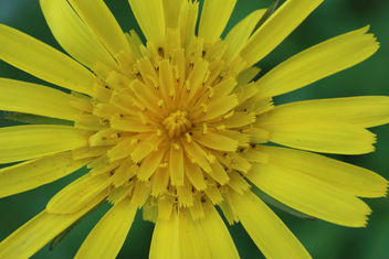 Meadow Goat's-beard - image gratuit #292239