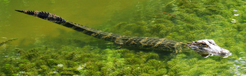 Baby Alligator - Kostenloses image #292249