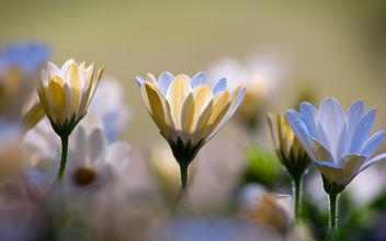 Chrysanthemums - Free image #292369