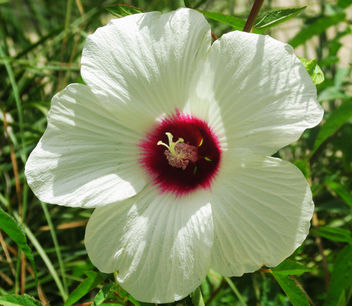 Hibiscus Flower - Free image #292679
