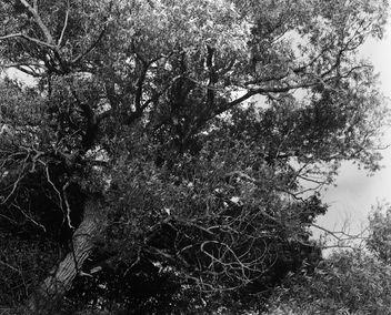 Big Oak - Free image #293069