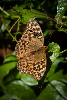 Silver-washed Fritillary - Free image #293239