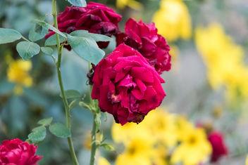 Rose - image gratuit #293669