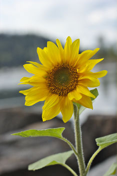 sunflower - image #293769 gratis