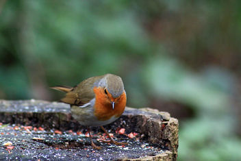 Lovely robin - Free image #294319