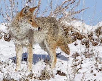 Winter Hunt - Free image #294679