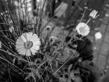 Daisy - image gratuit #294729