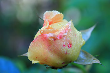 Rose bud in november - image gratuit #294799