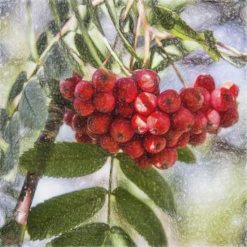 Ash Berries - Kostenloses image #294819