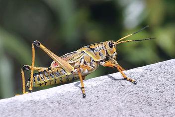 Eastern Lubber Grasshopper (Romalea guttata). - image #295109 gratis