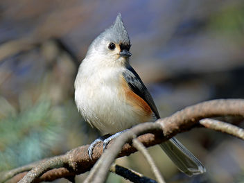 Tufted Titmouse in an Evergreen - Free image #295429
