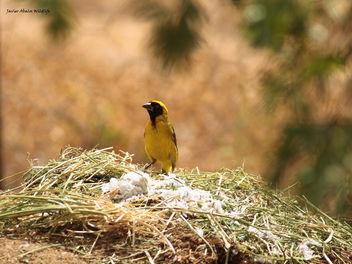 Southern masked weaver bird (Ploceus velatus) in Goegap Nature Reserve (Namakwaland, South Africa) - бесплатный image #295619