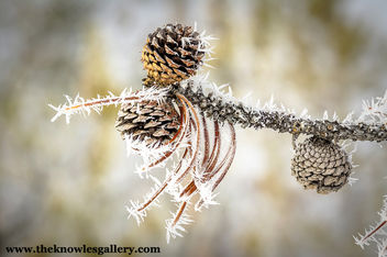 Ice crystals on a pine tree limb with cones - бесплатный image #296009