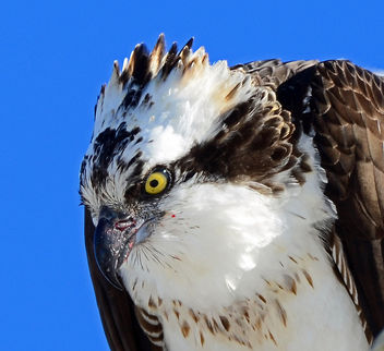 Osprey Profile - Free image #296129