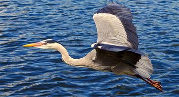 Grey heron - image #296179 gratis