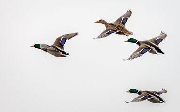 20150207__5D_2674 Mallard Duck.jpg - Free image #296379