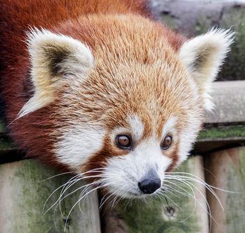 Red Panda - Free image #296509
