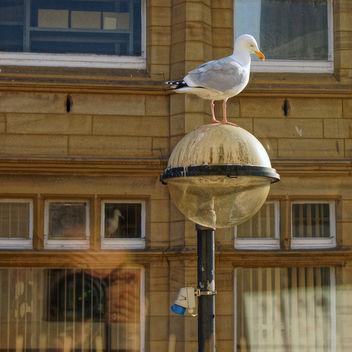 Herring Gull Morecambe - Free image #297229