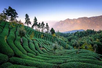 Tea field - image #297409 gratis