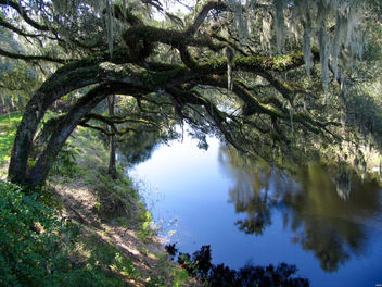 Live Oaks on river bank - Kostenloses image #297429