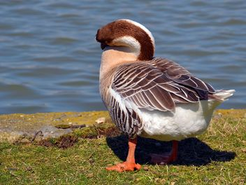 Duck stands near the lake - image #297549 gratis